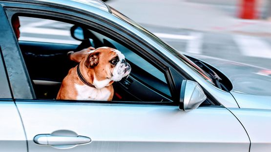 A dog sat in a car